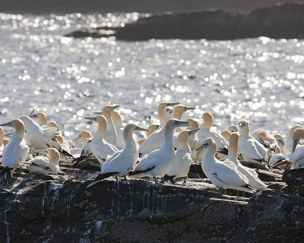 Seabird Poster featuring the photograph A Flock Of Gannets Standing On A Rock by John Short