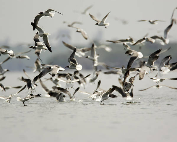 Flocks Of Birds Poster featuring the photograph A Flock Of Laughing Gulls Larus by Tim Laman