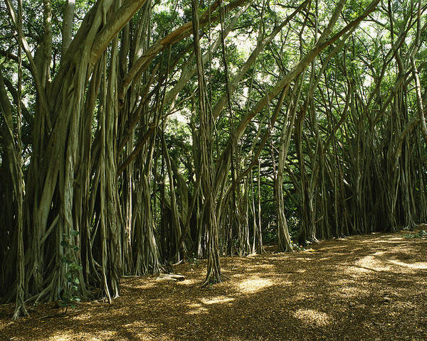 Plants Poster featuring the photograph A Grove Of Banyan Trees Send Airborn by Paul Damien