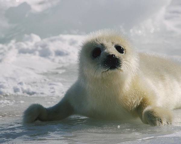 Atlantic Ocean Poster featuring the photograph A Juvenile Harp Seal Pagophilus by Tom Murphy