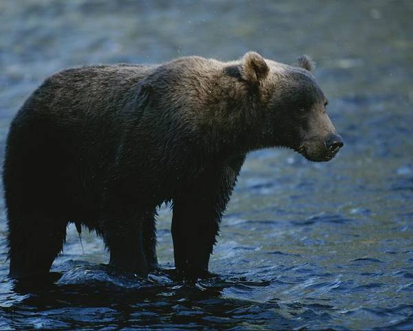 North America Poster featuring the photograph A Kodiak Brown Bear Hunts For Fish by George F. Mobley