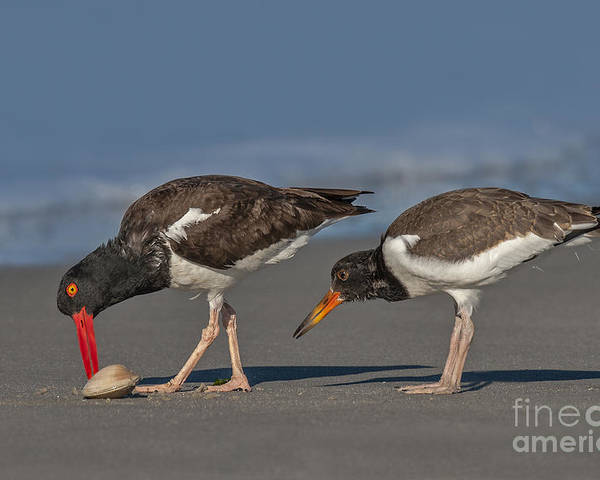 American Oystercatcher Poster featuring the photograph A Lesson In Fine Dinning by Susan Candelario