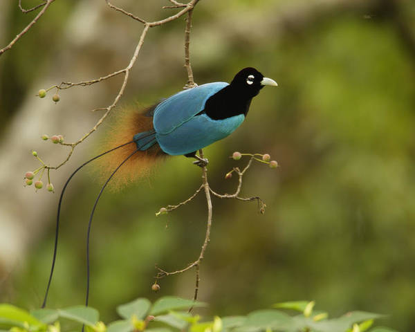 Outdoors Poster featuring the photograph A Male Blue Bird Of Paradise Perched by Tim Laman