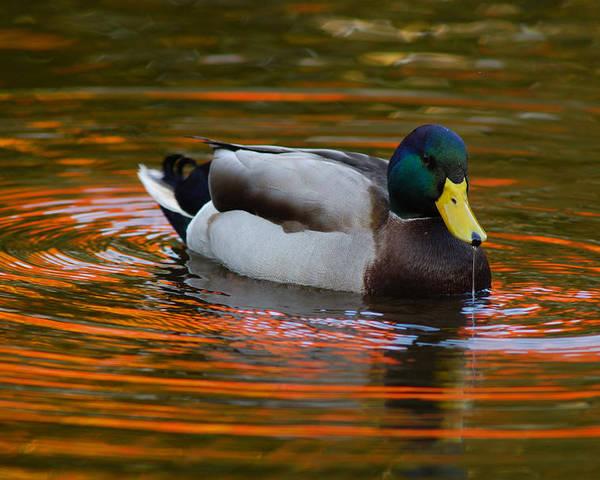 Day Poster featuring the photograph A Male Mallard Duck Drinking. Fall by Darlyne A. Murawski