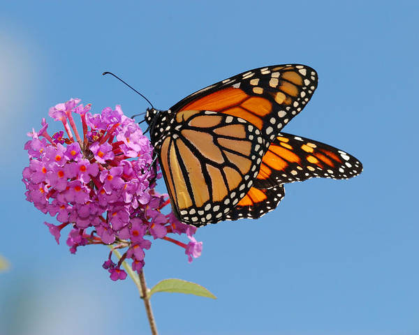 Day Poster featuring the photograph A Monarch Butterfly, Danaus Plexippus by Darlyne A. Murawski