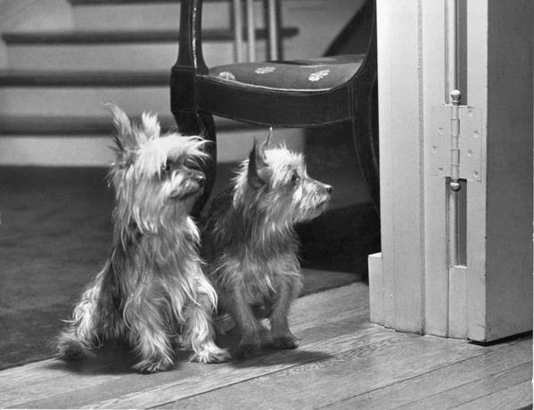 Black And White Poster featuring the photograph A Pair Of Australian Silky Terriers by Willard Culver