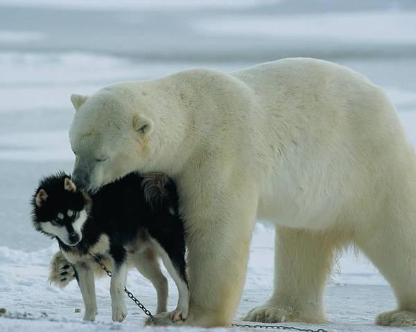churchill Poster featuring the photograph A Polar Bear Ursus Maritimus Snuggles by Norbert Rosing