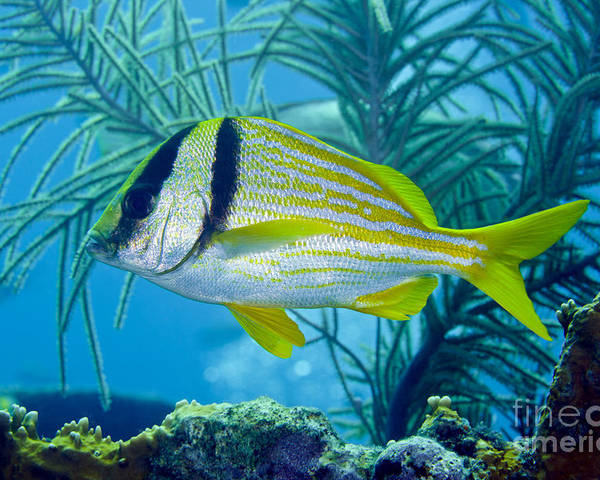 Sea Life Poster featuring the photograph A Porkfish Swims By Sea Plumes by Terry Moore
