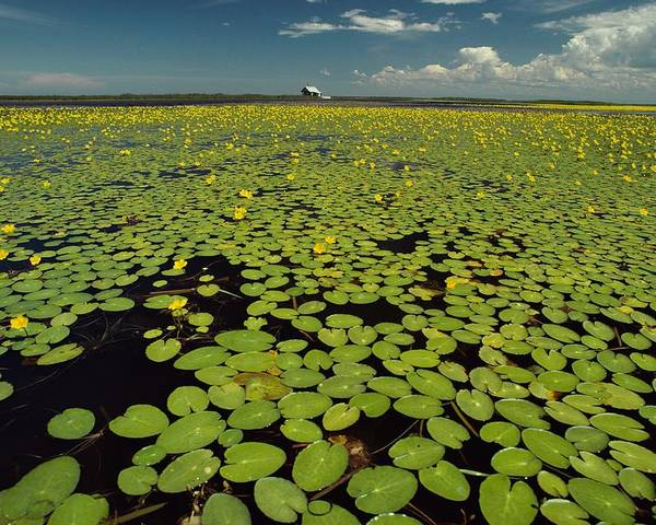 Day Poster featuring the photograph A River Delta Filled With Lily Pads by Bill Curtsinger