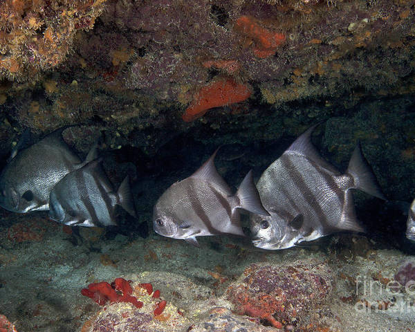 Fish Poster featuring the photograph A School Of Atlantic Spadefish by Terry Moore