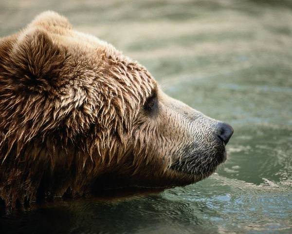 north America Poster featuring the photograph A Side-view Of A Captive Kodiak Bear by Tim Laman