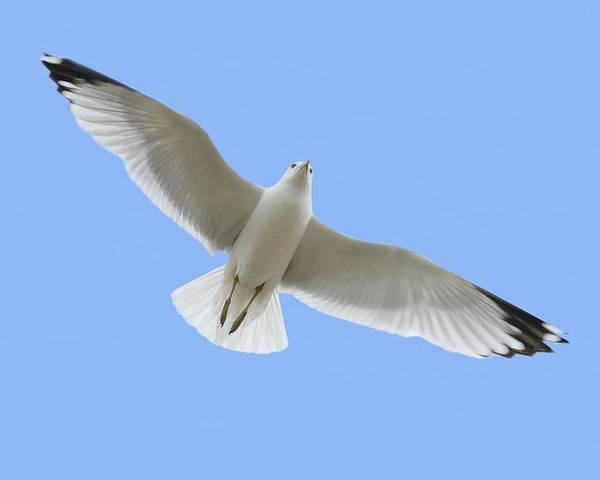 Horizontal Poster featuring the photograph A Soaring Dove by Don Hammond