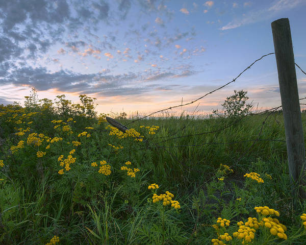 Agriculture Poster featuring the photograph A Summer Evening Sky With Yellow Tansy by Dan Jurak
