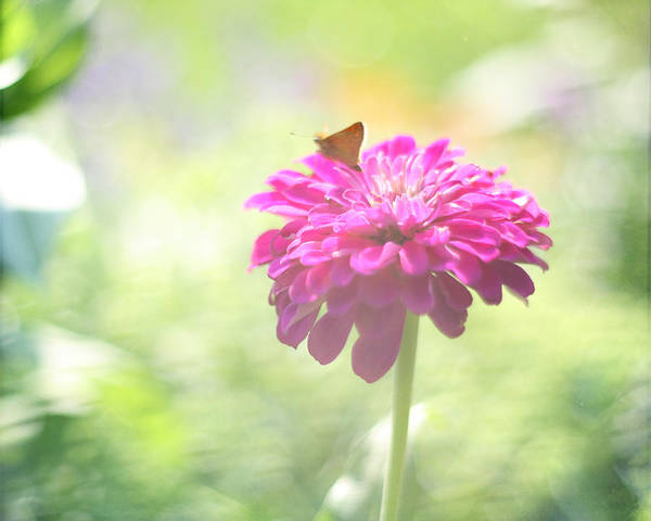 Pink Flower Poster featuring the photograph A Summer's Song by Amy Tyler