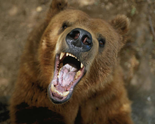 Portraits Poster featuring the photograph A Trained Kodiak Bear With Its Mouth by Joel Sartore