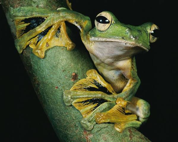Outdoors Poster featuring the photograph A Wallaces Flying Frog, Rhacophorus by Tim Laman