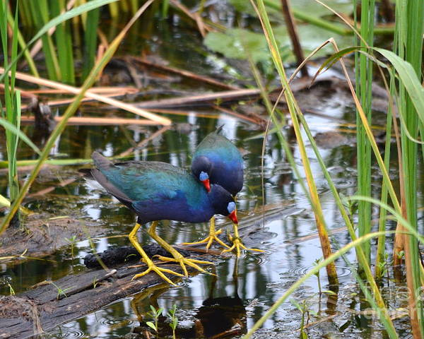 Purple Gallinule Poster featuring the photograph A Warm Embrace by Kathy Gibbons