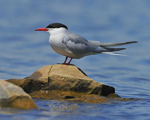 Adult Poster featuring the photograph Adult Common Tern by Tony Beck