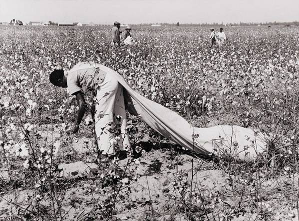 History Poster featuring the photograph African American Day Laborer Picking by Everett