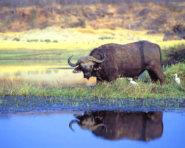 Outdoors Poster featuring the photograph African Cape Buffalo, Photographed At by John Pitcher
