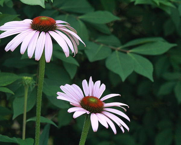Nature Photo Poster featuring the photograph African Daisies 6 by Vivian Cosentino