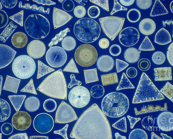 Micrograph Poster featuring the photograph Algae, Fossil Diatoms, Lm by M. I. Walker