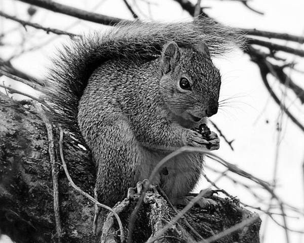 Squirrel Poster featuring the photograph Alpha Squirrel by Jenna Monroe