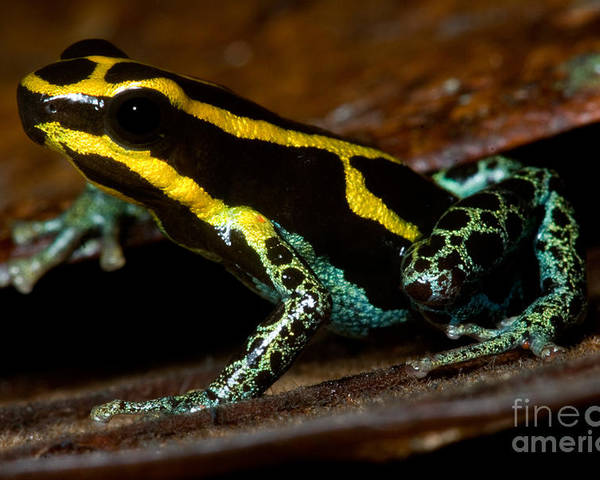 Ranitomeya Ventrimaculata Poster featuring the photograph Amazonian Poison Frog by Dant� Fenolio