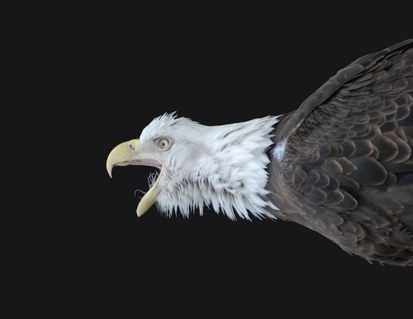 American Bald Eagle Poster featuring the photograph American Bald Eagle by Paul Ward