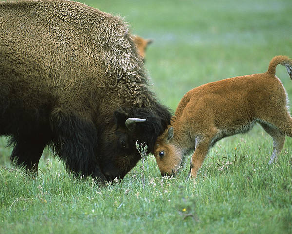 Mp Poster featuring the photograph American Bison Cow And Calf by Suzi Eszterhas