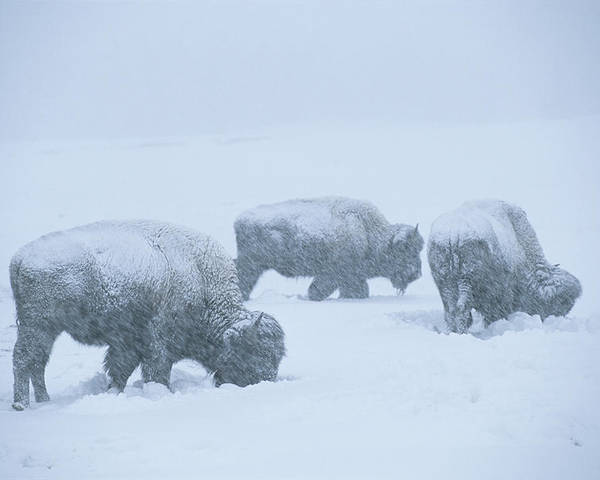 North America Poster featuring the photograph American Bison Graze During A Snowstorm by Tom Murphy