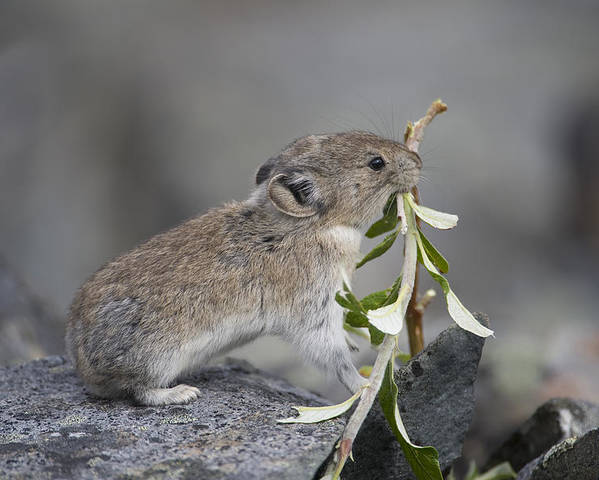 Mp Poster featuring the photograph American Pika by Michael Quinton