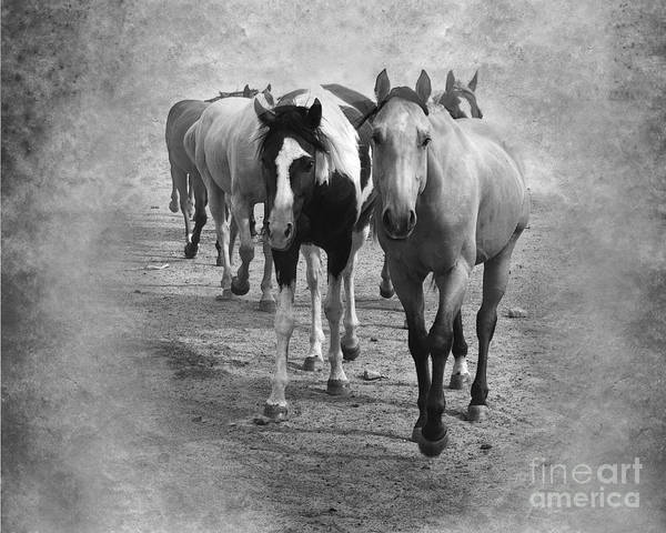 American Quarter Horse Poster featuring the photograph American Quarter Horse Herd In Black And White by Betty LaRue