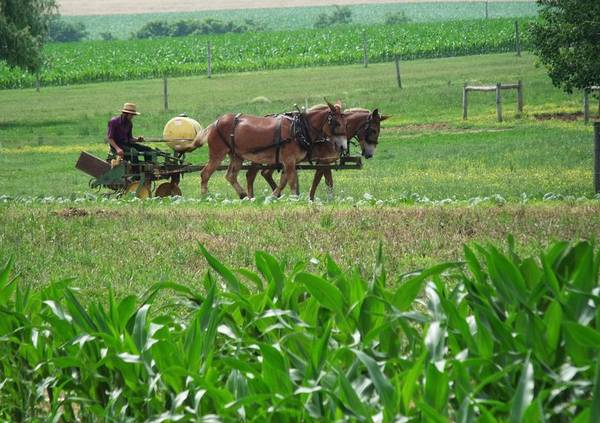 Amish Poster featuring the photograph Amish At Work by Dottie Gillespie