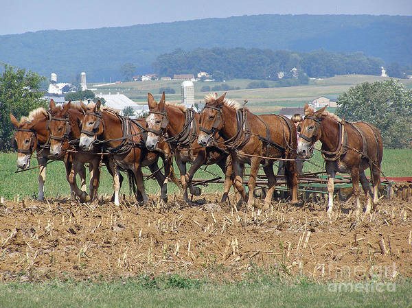 Mules Poster featuring the photograph Amish Working Team by Louise Peardon
