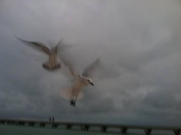 Seagulls Poster featuring the photograph Angels In The Air by Patricia Williams