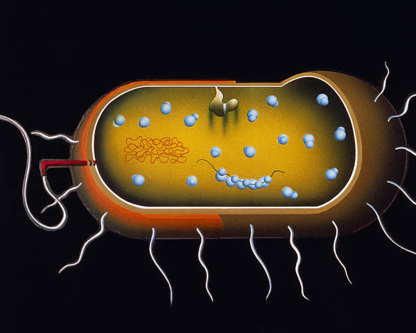 Microbiology Poster featuring the photograph Artwork Of Structure Of A Bacterium by Francis Leroy, Biocosmos