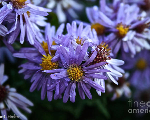Flower Poster featuring the photograph Aster Dew Drops by Susan Herber