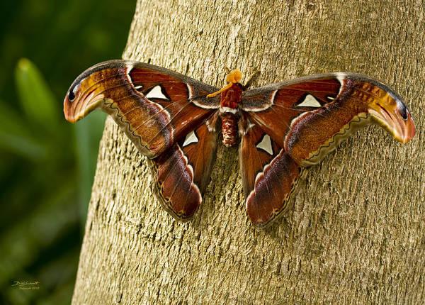 Atlas Moth Poster featuring the photograph Atlas Moth by Bill Schaudt
