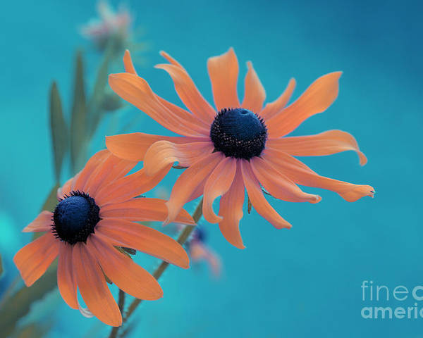 black Eyed Susan Poster featuring the photograph Attachement - S02cz by Variance Collections