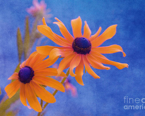 black Eyed Susan Poster featuring the photograph Attachement - S11at01d by Variance Collections