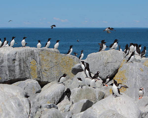 Puffin Poster featuring the photograph Auk Island by Bruce J Robinson