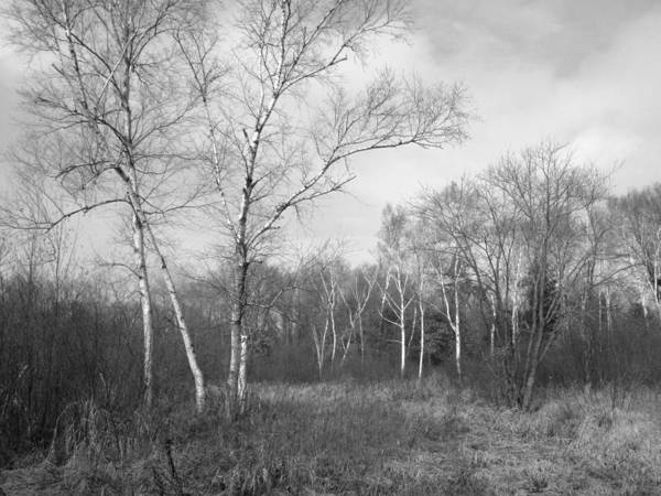 Forest Poster featuring the photograph Autumn Birches by Anna Villarreal Garbis