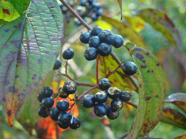 Autumn Poster featuring the photograph Autumn Viburnum Berries Series #2 by Mother Nature