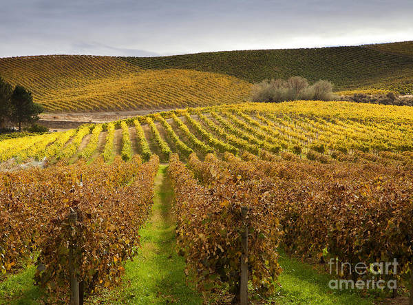 Grapevines Poster featuring the photograph Autumn Vines by Mike Dawson