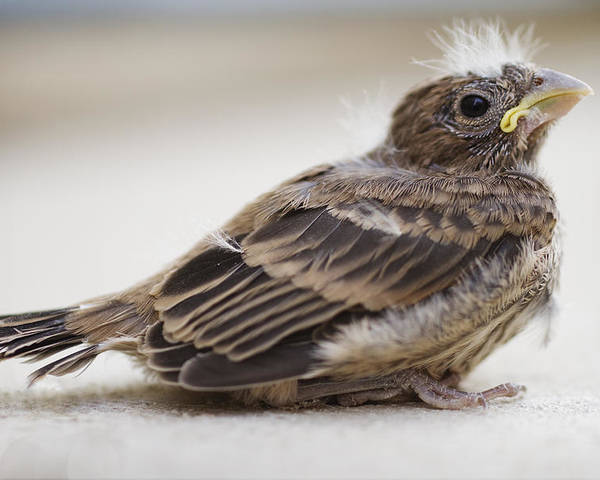 Baby Bird Poster featuring the photograph Baby Bird 1 by Jessica Velasco