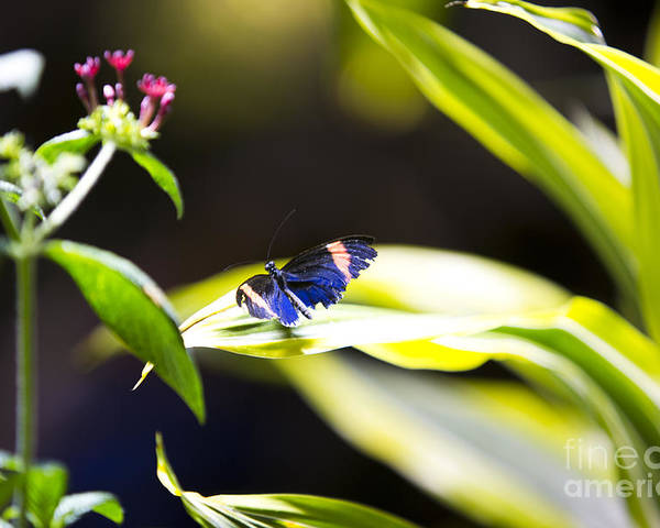 Butterfly Poster featuring the photograph Baby Blue by Leslie Leda