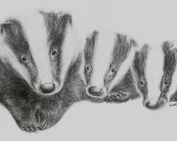 Badgers Poster featuring the drawing Badgers by Lucy D