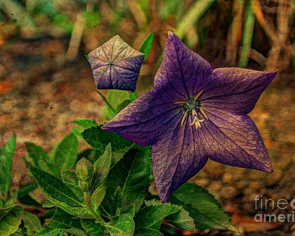 Balloon Poster featuring the photograph Balloon Flower - Antiqued by Michael Garyet