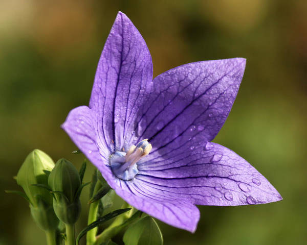 Flower Poster featuring the photograph Balloon Flower by Lori Peters